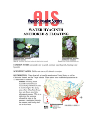 WATER HYACINTH ANCHORED & FLOATING