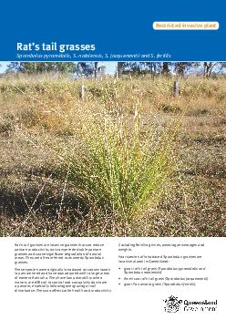 Giant rats tail grass and other weedy Sporobolus grasses are invasive grasses that can reduce pasture productivity outcompete desirable pasture grasses and cause signicant degradation of natural areas