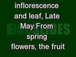 Single inflorescence and leaf, Late May From spring flowers, the fruit