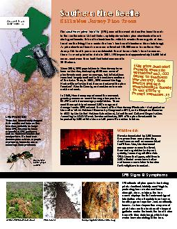 SPB attacks all pine species including pitch, shortleaf, loblolly, and