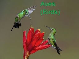 Aves (Birds) PowerPoint PPT Presentation