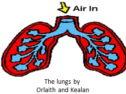 The lungs by