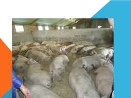 Pig production PowerPoint PPT Presentation