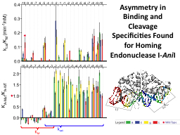 Asymmetry in Binding and Cleavage Specificities Found for H