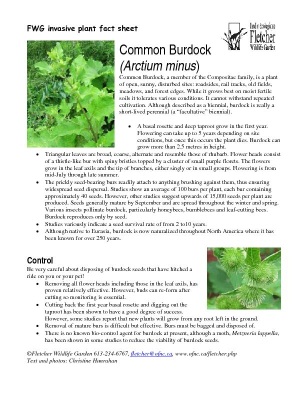 Common Burdock, a member of the Compositae family, is a plant meadows,