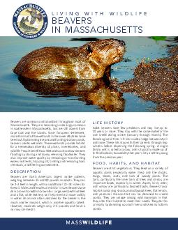 Living With Wildlife The Beaver in Massachusetts Beavers are abundant throughout most of Massachusetts but are uncommon in southeastern Massachusetts and absent from Cape Cod and the islands