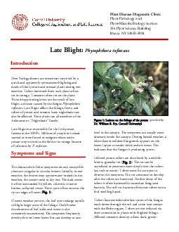Late Blight Phytophthora infestans New York gardeners are sometimes surprised by a quick and apparently spontaneous blighting and death of their potato and tomato plants during wet weather