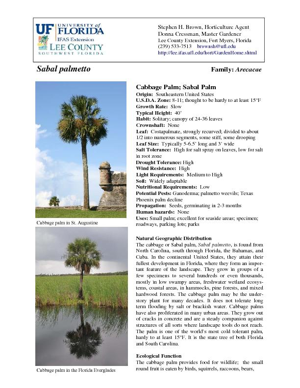 Growth Habit and Morphology The cabbage palm is a solitary palm having