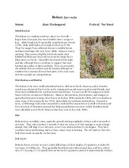 Bobcat  Lynx rufus Status State  Endangered Federal  Not listed Identification The bobcat is a medium sizedcat about two feet tall larger than a housecat but much smaller than a cougar or lion