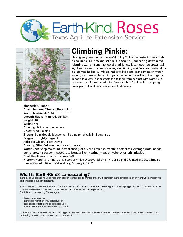 Having very few thorns makes Climbing Pinkie the perfect rose to train