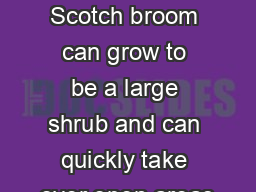 General nformation Scotch broom can grow to be a large shrub and can quickly take over open areas PDF document - DocSlides