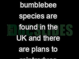 About bumblebees At the time of writing  bumblebee species are found in the UK and there are plans to reintroduce the Short haired bumblebee