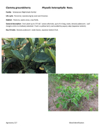 Agronomy  Weed Identification Clammy groundcherry Physalis heterophylla Nees Family Solanaceae Nightshade family Life cycle Perennial reproducing by seed and rhizomes Habitat Pastures waste areas cro