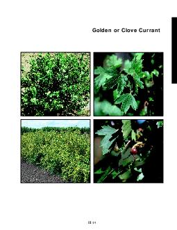 Golden or Clove Currant slide a  slide b  slide c  slide d  III  Golden or Clove Currant Ribes odoratum General Description A small shrub native to western United States