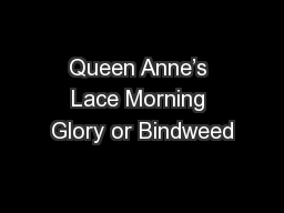 Queen Anne's Lace Morning Glory or Bindweed