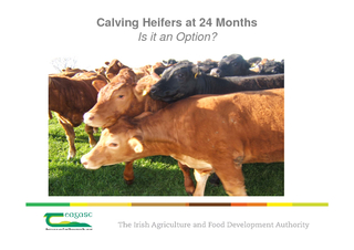 Calving Heifers at  Months Is it an Option  Why Should