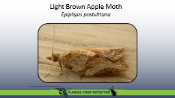 Light Brown Apple Moth  Epiphyas postvittana