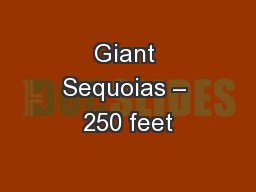 Giant Sequoias � 250 feet