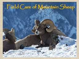 Field Care of Mountain Sheep