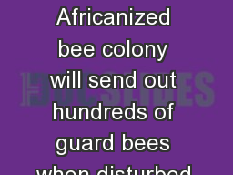 Figure 2.  An Africanized bee colony will send out hundreds of guard bees when disturbed.