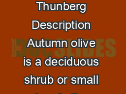 Autumn Olive  Elaeagnus umbellata Thunberg Description Autumn olive is a deciduous shrub or small tree in the Oleaster family PowerPoint PPT Presentation