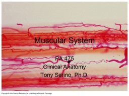 Muscular System PA  475 Clinical Anatomy