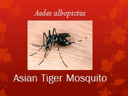 Asian Tiger Mosquito Aedes