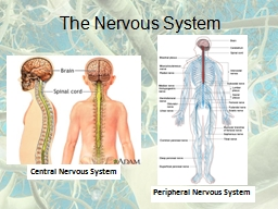 The Nervous System Central Nervous System Peripheral Nervous System PowerPoint PPT Presentation