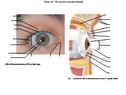 Figure 15.1  The eye and accessory structures. PowerPoint PPT Presentation