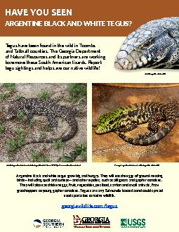 Argentine black and white tegus grow big and hungry They will eat the