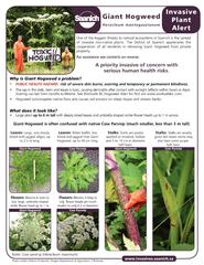 Giant Hogweed Invasive Plant PUBLIC HEALTH HAZARD:The sap in the stalk